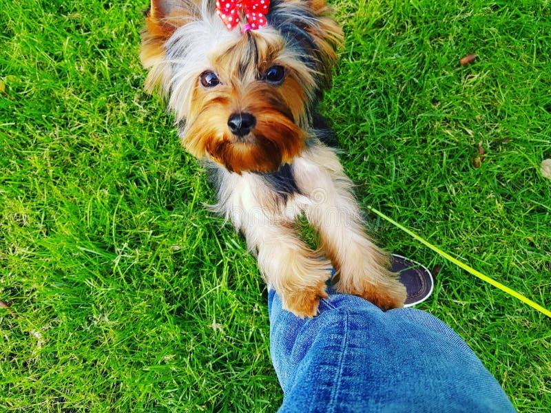 perro del terrier del yorshire pequeño imagen de archivo