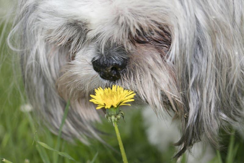 Perro del tzu de Shih que huele la flor, foto de archivo libre de regalías