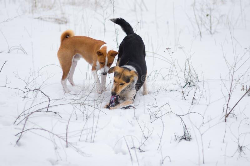 Perro desnudo del basenji que juega con el otro perro en una tierra nevada fotografía de archivo libre de regalías