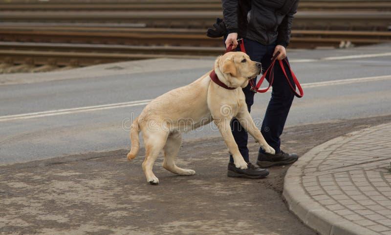 Perro desobediente - educación canina fotos de archivo