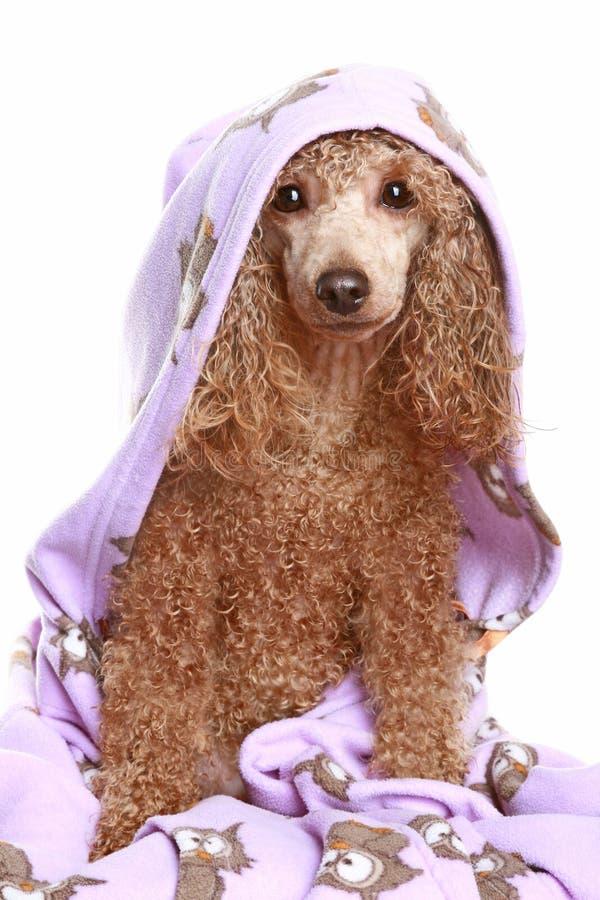 Perro después del baño foto de archivo libre de regalías