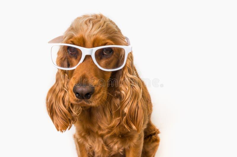 Perro divertido de cocker spaniel con las lentes aisladas en blanco foto de archivo