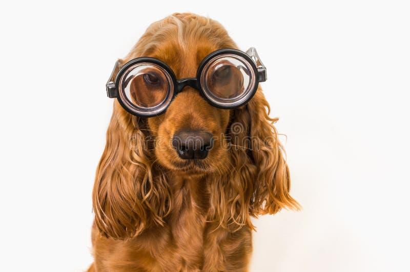 Perro divertido de cocker spaniel con las lentes aisladas en blanco fotografía de archivo