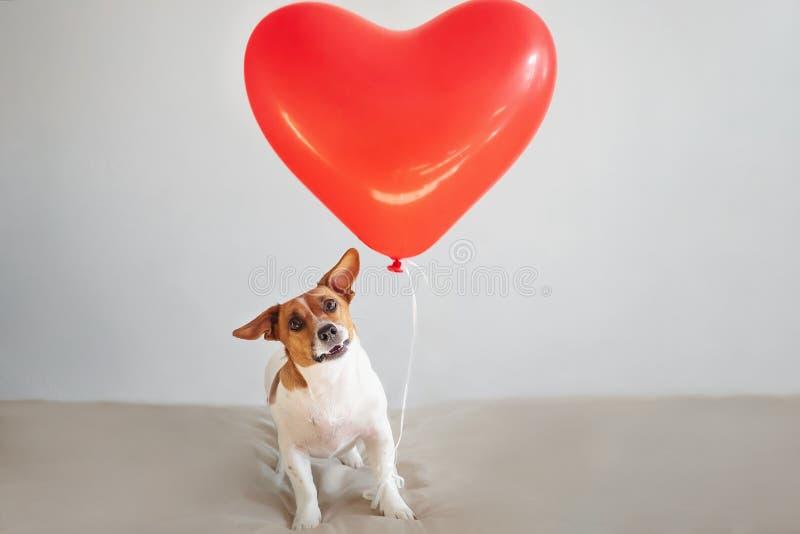 Perro divertido de Jack Russell con los globos del corazón Día de tarjetas del día de San Valentín Conce fotos de archivo libres de regalías