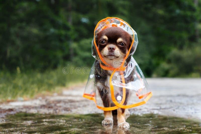 Perro divertido de la chihuahua que presenta en un impermeable al aire libre por el charco imagenes de archivo