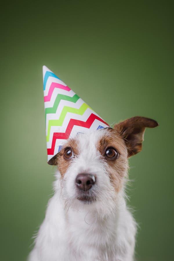 Perro divertido de Russell del enchufe con el casquillo estival en la cabeza fotos de archivo libres de regalías