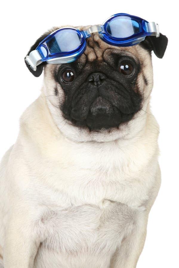 Perro divertido del barro amasado en los vidrios azules para un buceo con escafandra imágenes de archivo libres de regalías