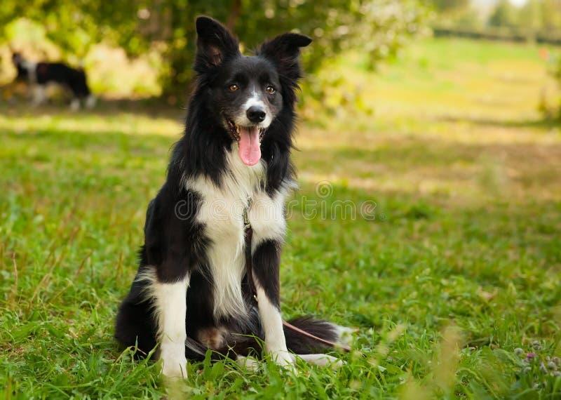 perro divertido del border collie en el parque fotografía de archivo