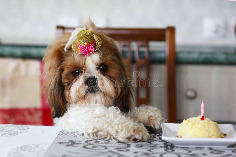 Perro divertido del cumpleaños de Shih Tzu con la torta y el sombrero imagen de archivo