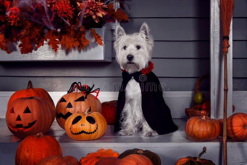 Perro divertido en el traje y los pumkins de Halloween imagen de archivo libre de regalías