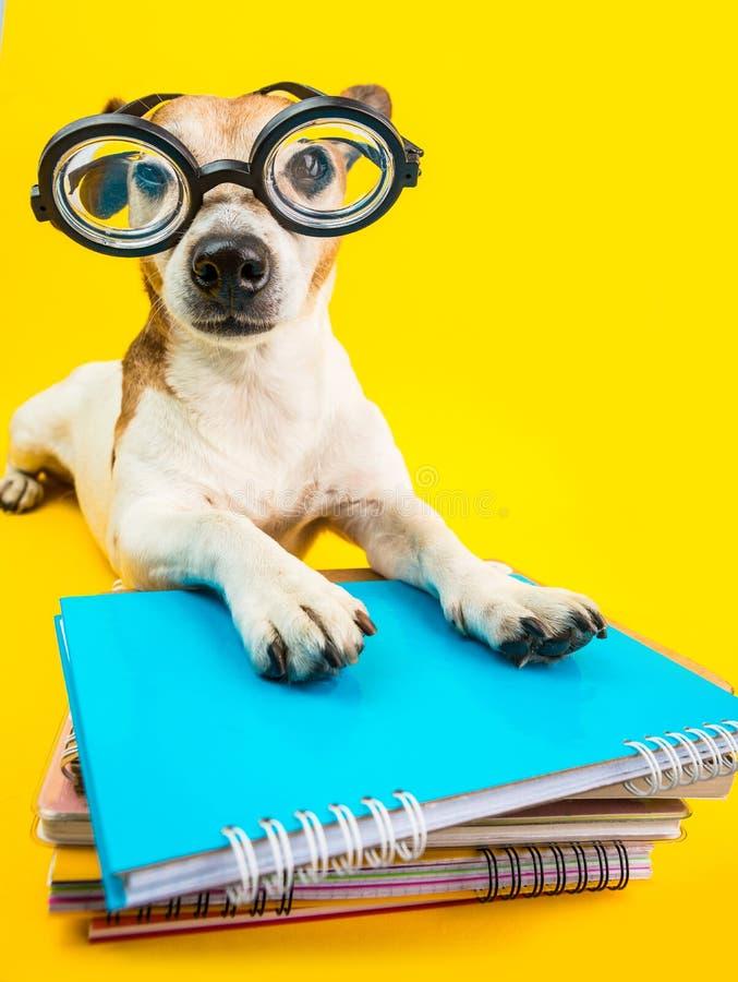 Perro divertido en vidrios y libros redondos Fondo amarillo De nuevo a tema de la escuela Preperetion del estudiante al examen imagenes de archivo