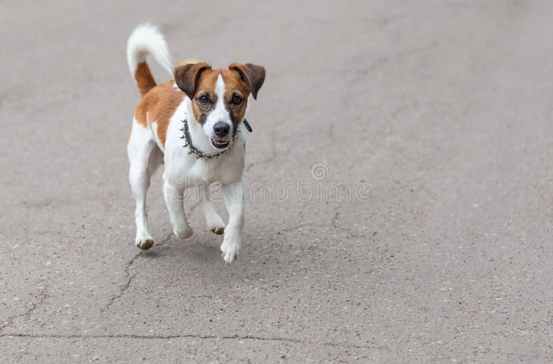 Perro divertido feliz de Jack Russell Terrier que corre en el camino foto de archivo libre de regalías