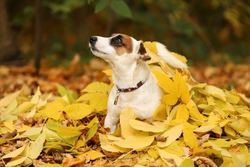 Perro divertido lindo en las hojas amarillas en parque del otoño imagen de archivo
