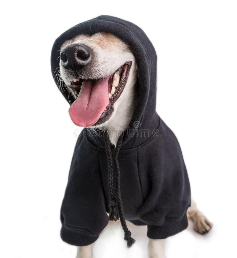 Perro divertido sonriente del gángster en puente negro de la sudadera con capucha Fondo blanco fotos de archivo libres de regalías