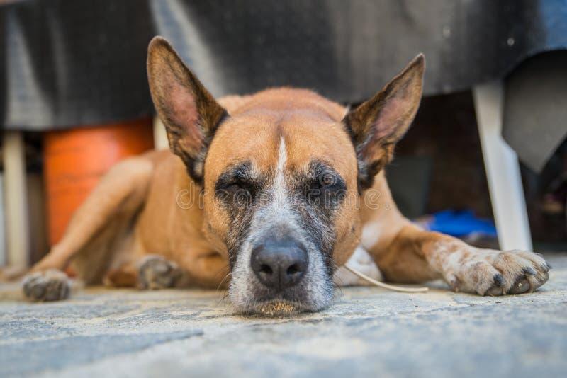 Perro dormido imagenes de archivo