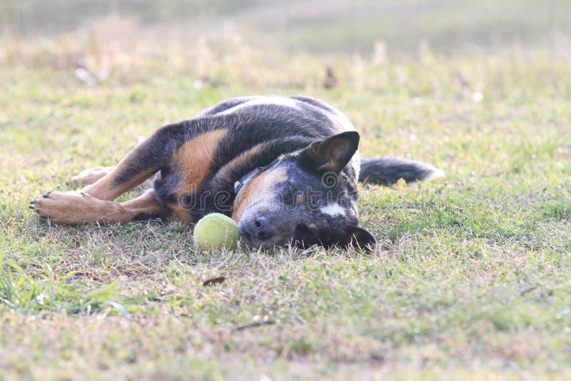 Perro dormido con la pelota de tenis imágenes de archivo libres de regalías