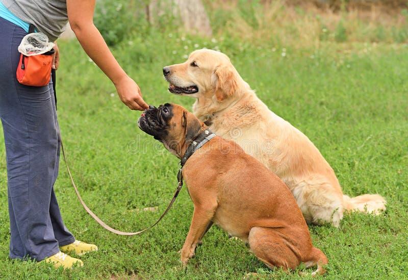 Perro dos en el entrenamiento foto de archivo