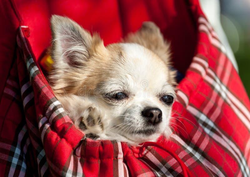 Perro dulce de la chihuahua dentro del bolso a cuadros rojo fotografía de archivo