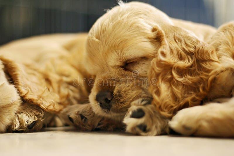 Perro el dormir imagenes de archivo