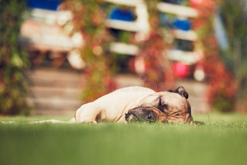 Perro el dormir en el jardín imagen de archivo libre de regalías