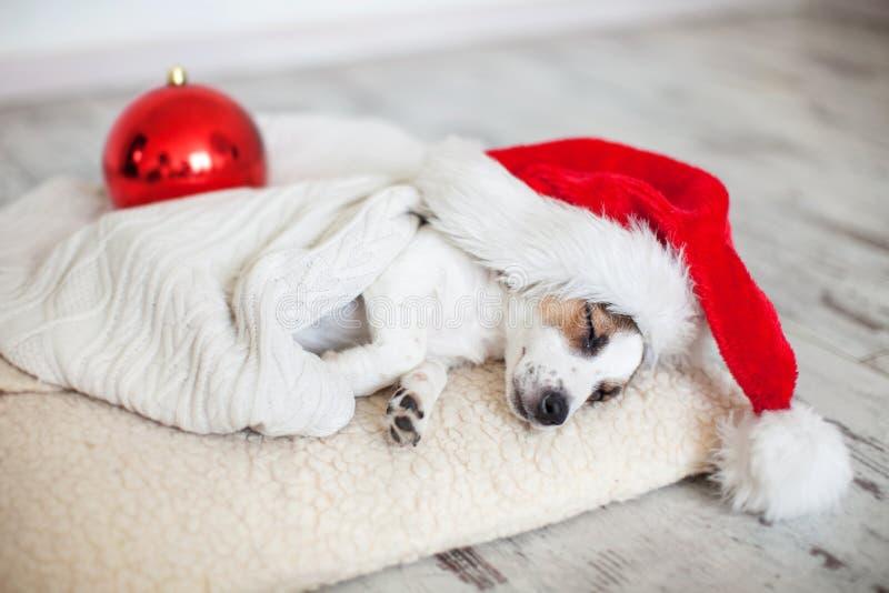 Perro el dormir en sombrero de la Navidad fotos de archivo libres de regalías