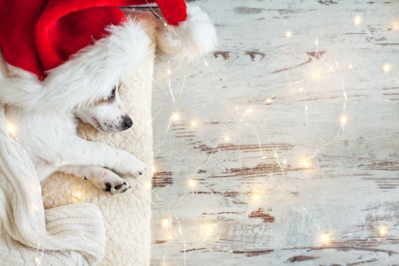 Perro el dormir en sombrero de la Navidad imágenes de archivo libres de regalías