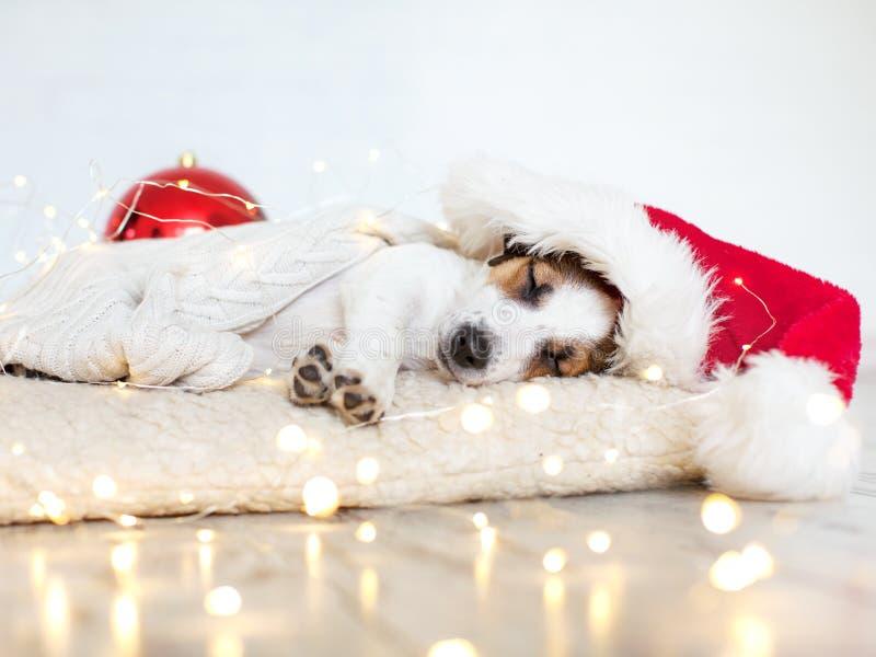Perro el dormir en sombrero de la Navidad foto de archivo