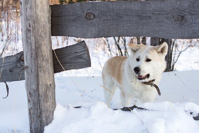 Perro elegante con el japonés rojo Akita Inu del pelo en el invierno en el bosque entre las nieves acumulada por la ventisca gran fotos de archivo