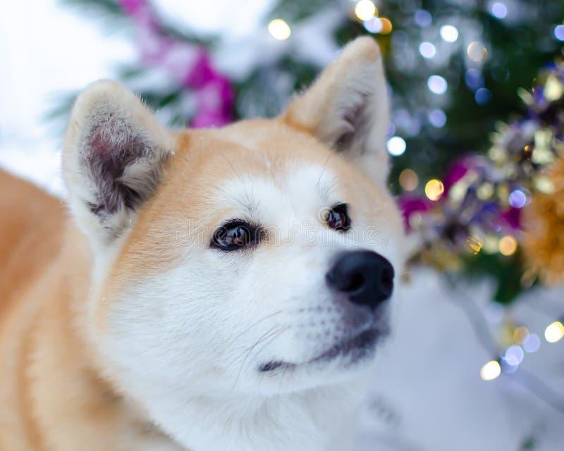 Perro enérgico joven de Akita para un paseo El caminar al aire libre en el invierno fotos de archivo libres de regalías