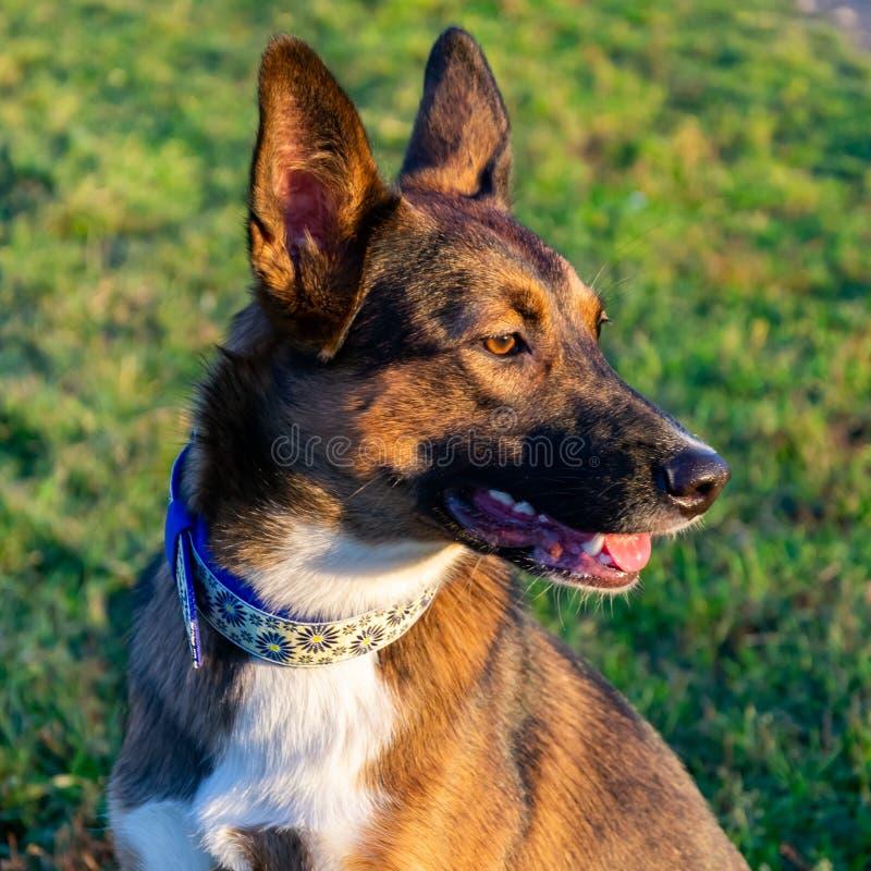 Perro enérgico joven del mestizo con los paseos hechos a mano del cuello en el prado fotografía de archivo