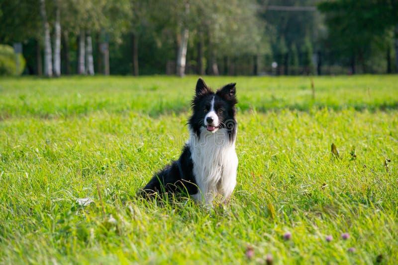 Perro enérgico joven en un paseo Border collie fotos de archivo