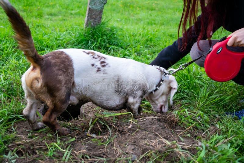Perro enérgico joven en un paseo Un estándar de mármol doble sucio del perro basset revuelve en la tierra, cava un hoyo imagen de archivo libre de regalías