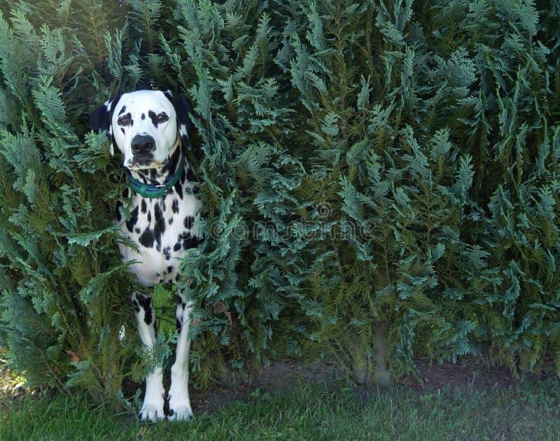 perro en arbusto foto de archivo libre de regalías