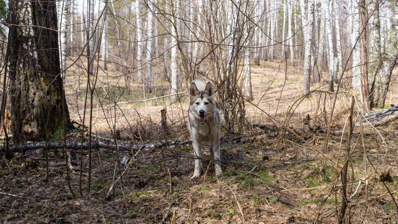 Perro en bosque de la primavera en Novosibirsk Akademgorodok imagen de archivo libre de regalías