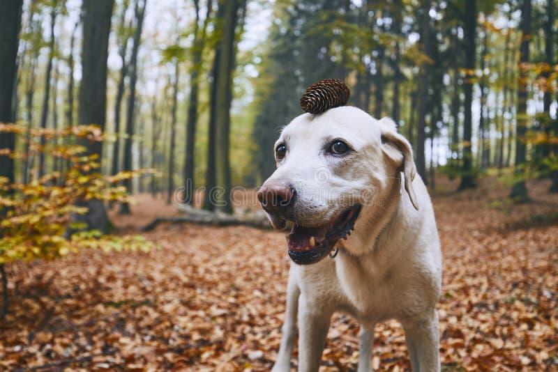 Perro en bosque del otoño imágenes de archivo libres de regalías