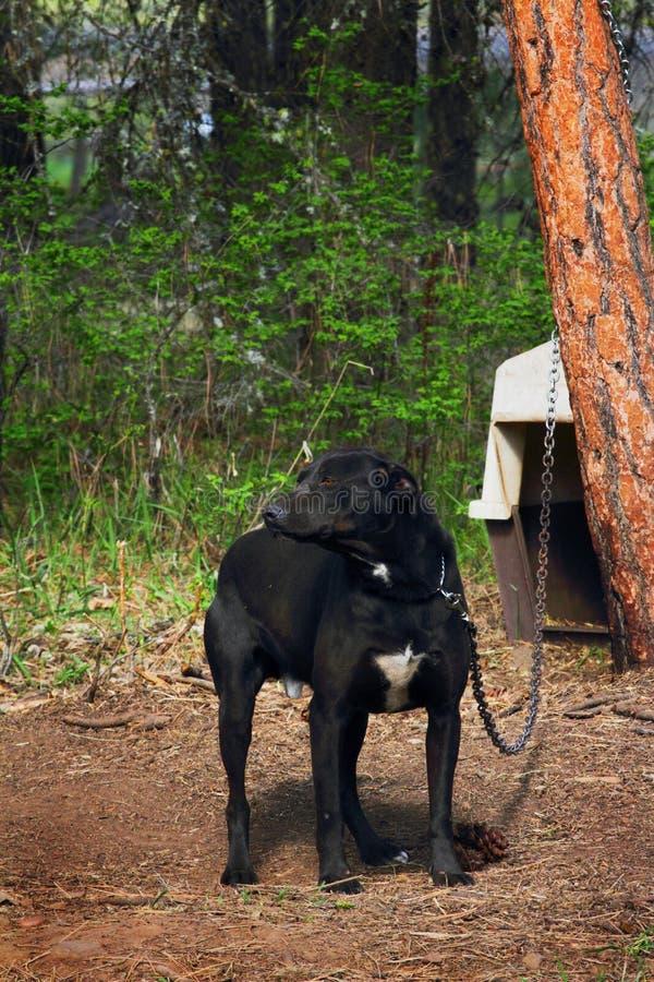 Perro en cadena foto de archivo libre de regalías