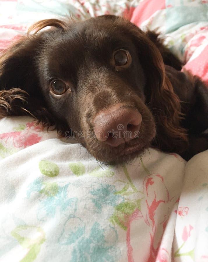 Perro en cama foto de archivo
