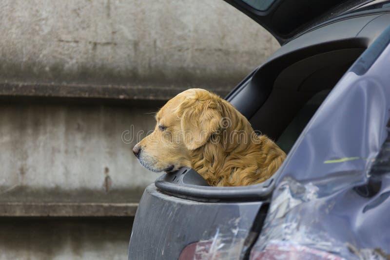 Download Perro en coche foto de archivo. Imagen de bastante, golden - 42440772