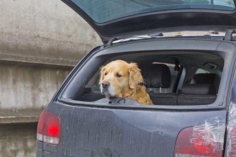 Download Perro en coche foto de archivo. Imagen de animal, camino - 42440778