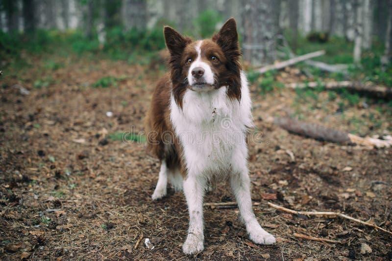 Perro en el border collie del marr?n del bosque en el bosque foto de archivo