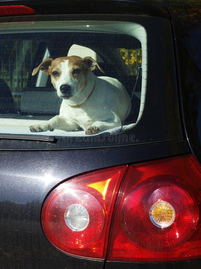 Perro en el coche fotografía de archivo libre de regalías