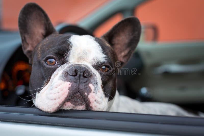Perro en el coche imagenes de archivo