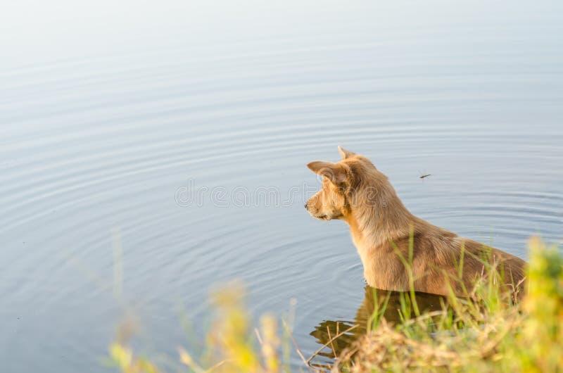 Perro en el lago fotografía de archivo