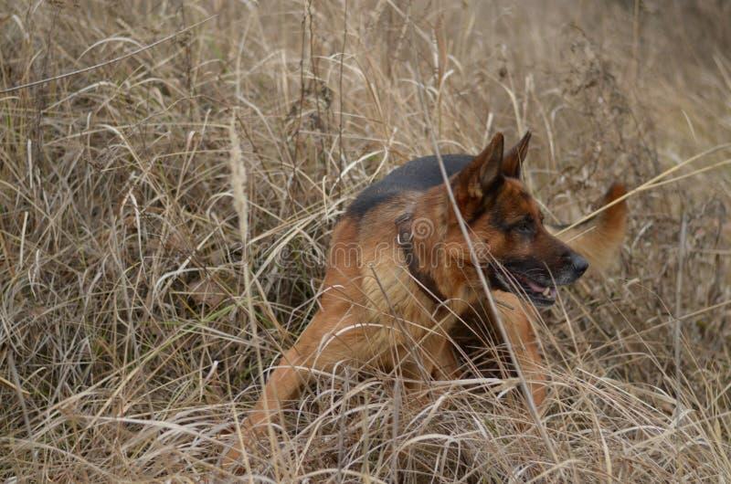 Perro en el pesebre fotos de archivo