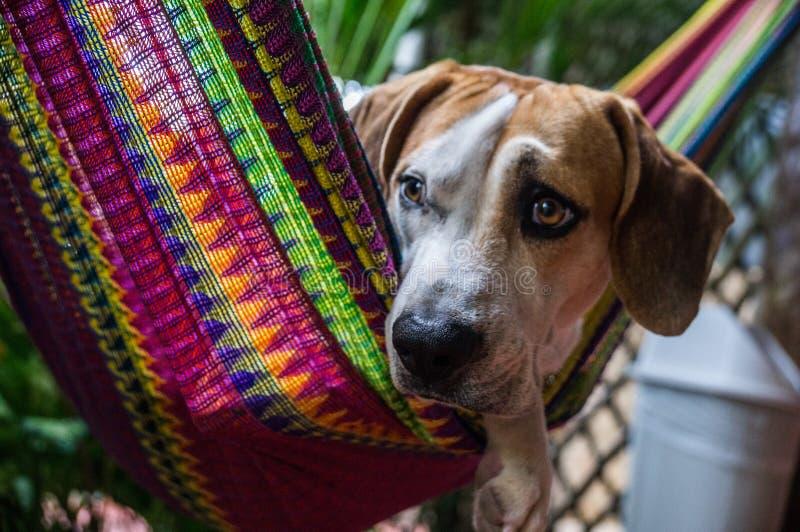 Perro en hamaca colorida fotos de archivo