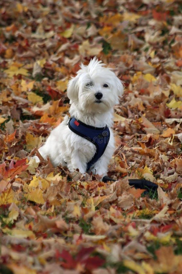Perro en hojas de otoño foto de archivo