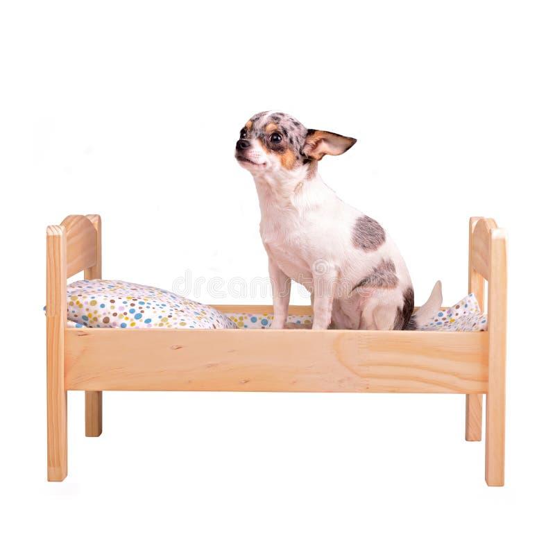 Perro en la cama foto de archivo libre de regalías