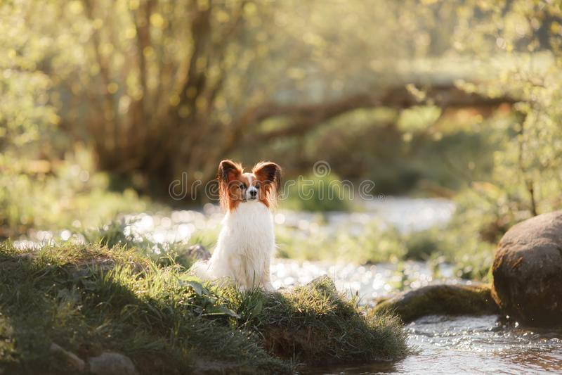 Perro en la hierba Papillon imagen de archivo