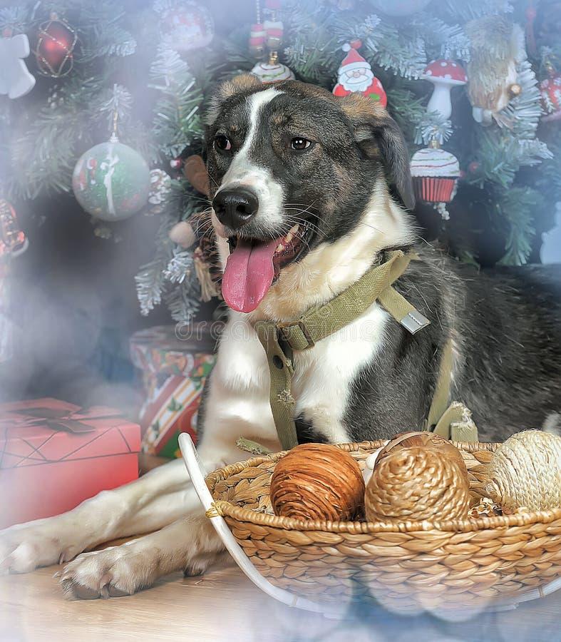 Perro en la Navidad imágenes de archivo libres de regalías