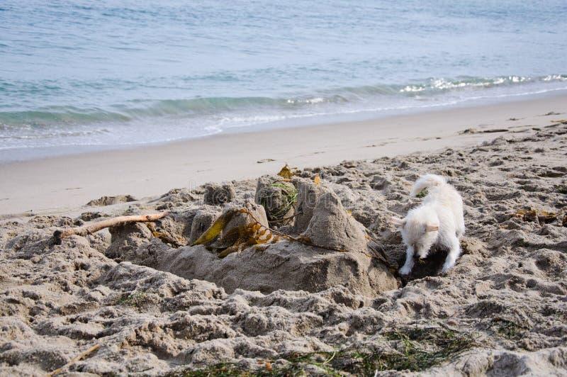 Perro en la playa imagen de archivo libre de regalías
